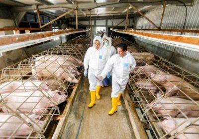 Solá y los cerdos chinos – MST ::